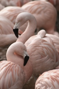 Flamingos - Copy